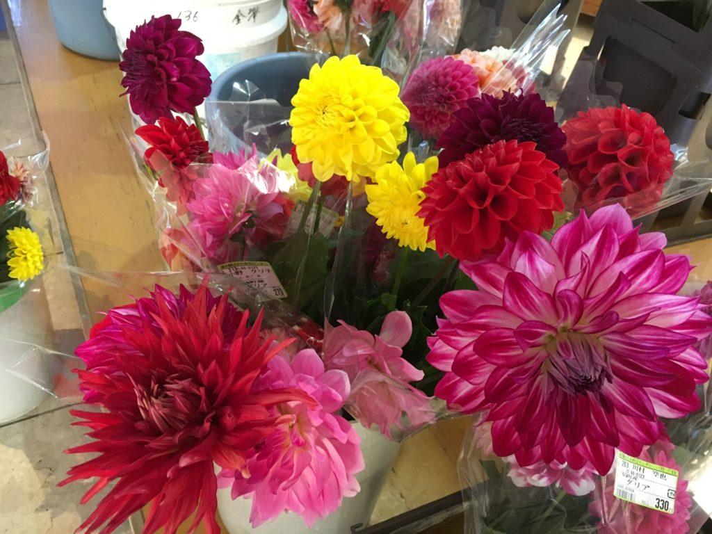 派手な色の大きな花びら。まるで造花のように華やかなダリア