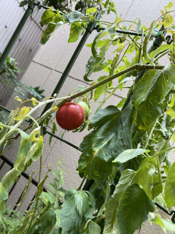 家庭菜園トマト8月