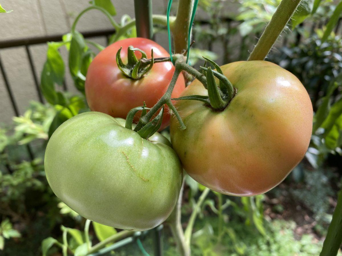 家庭菜園トマト7月