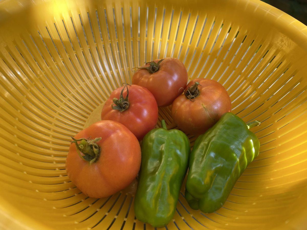 家庭菜園トマトピーマン8月